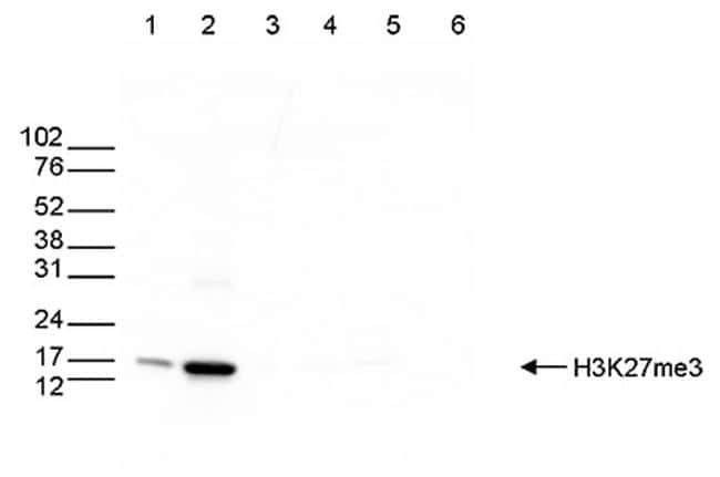 Tri-Methyl-Histone H3 (Lys27) Antibody in Western Blot (WB)