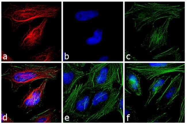 Rabbit IgG Fc Cross-Adsorbed Secondary Antibody in Immunofluorescence (IF)