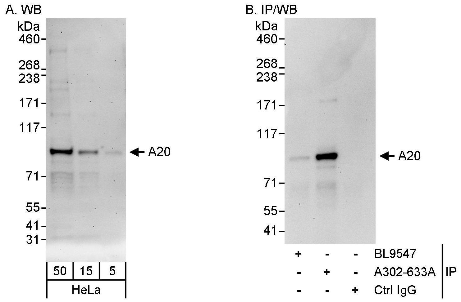 A20 Antibody in Western Blot (WB)