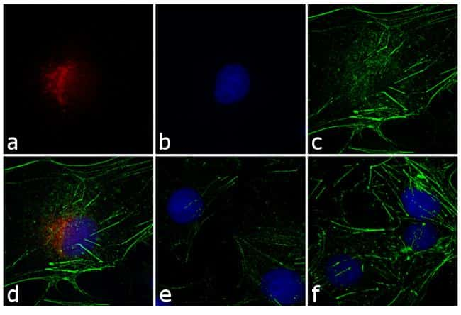 Rabbit IgG (H+L) Highly Cross-Adsorbed Secondary Antibody in Immunofluorescence (IF)