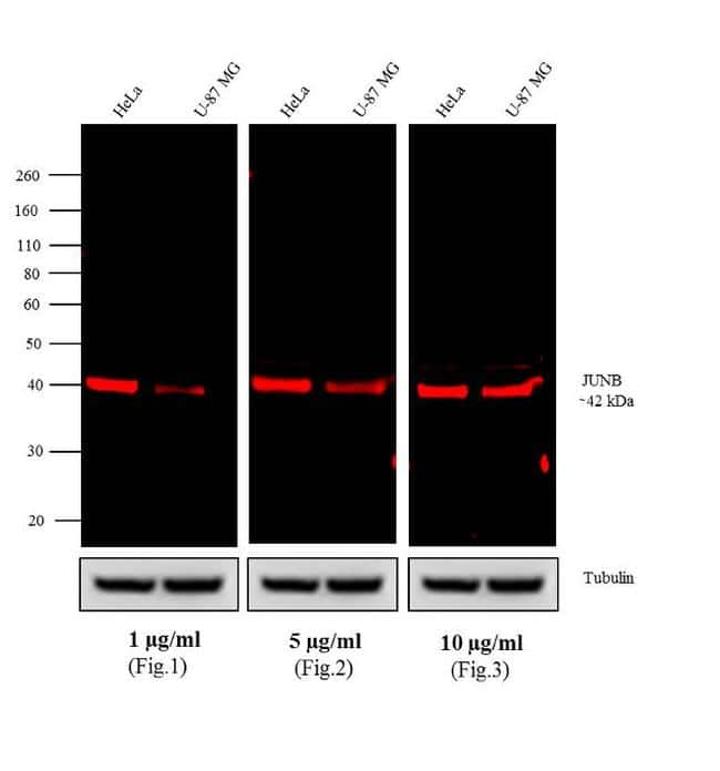 Rabbit IgG (H+L) Cross-Adsorbed Antibody in Western Blot (WB)