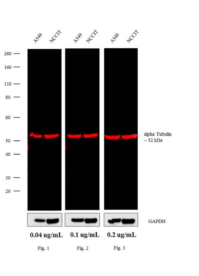 Rat IgG (H+L) Cross-Adsorbed Secondary Antibody in Western Blot (WB)