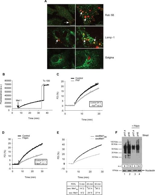 Golgin-97 Antibody