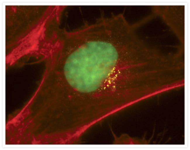 Golgin-97 Antibody in Immunofluorescence (IF)
