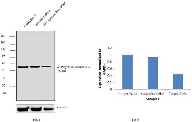 ATP Synthase beta Antibody in KnockDown