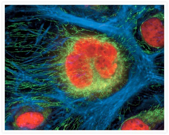 ATPIF1 Antibody in Immunofluorescence (IF)