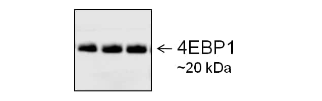 Goat IgG (H+L) Secondary Antibody in Western Blot (WB)