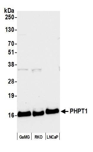 PHPT1 Antibody in Western Blot (WB)