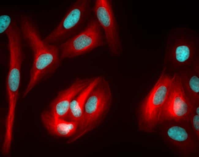 Rabbit IgG (H+L) Highly Cross-Adsorbed Secondary Antibody in Immunofluorescence (IF)