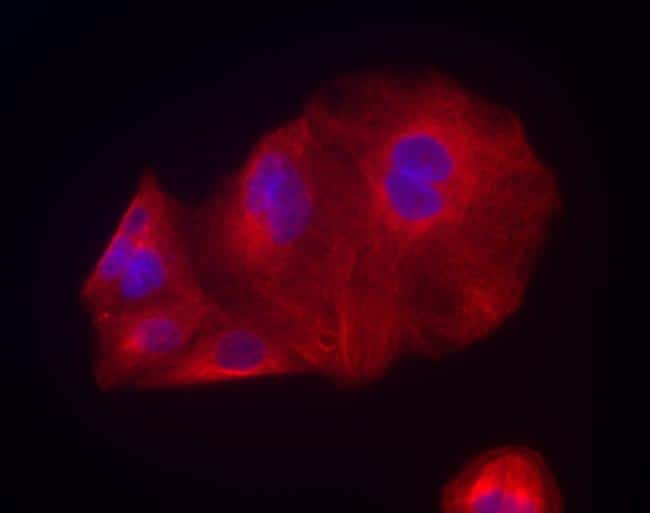 Chicken IgY (H+L) Cross-Adsorbed Secondary Antibody in Immunofluorescence (IF)