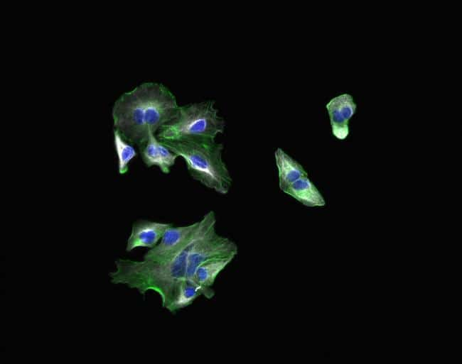 Goat IgG (H+L) Highly Cross-Adsorbed Secondary Antibody in Immunocytochemistry (ICC/IF)