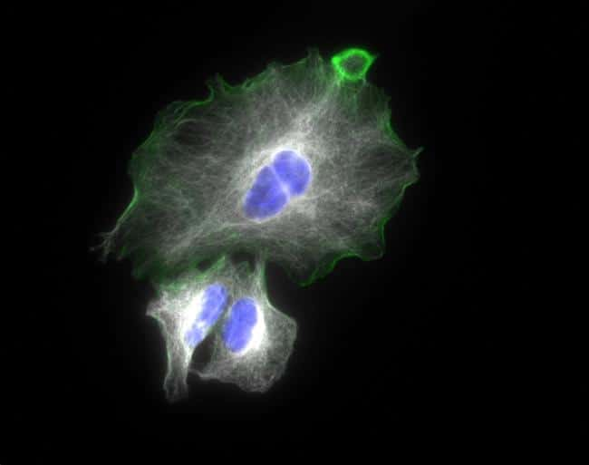 Goat IgG (H+L) Highly Cross-Adsorbed Secondary Antibody in Immunofluorescence (IF)