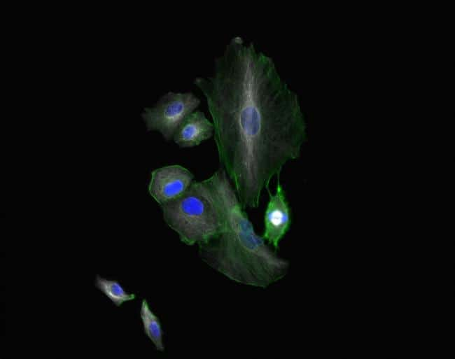 Chicken IgY (H+L) Cross-Adsorbed Secondary Antibody in Immunofluorescence (IF)