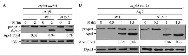 DPM1 Antibody