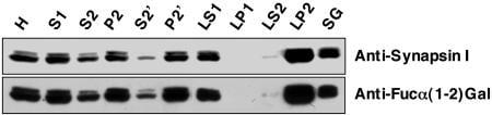 Synapsin 1 Antibody