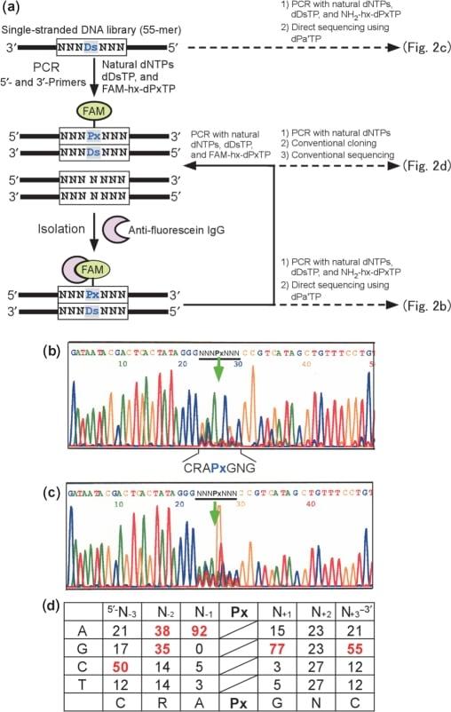 Fluorescein/Oregon Green Antibody