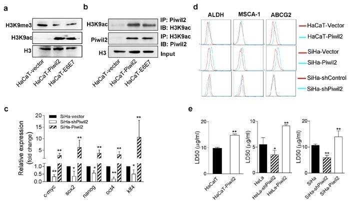 CD338 (ABCG2) Antibody