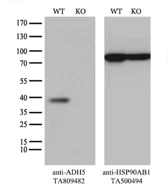 ADH5 Antibody in Knockout