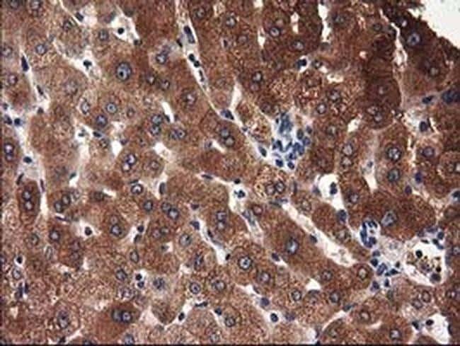 ADSL Antibody in Immunohistochemistry (Paraffin) (IHC (P))