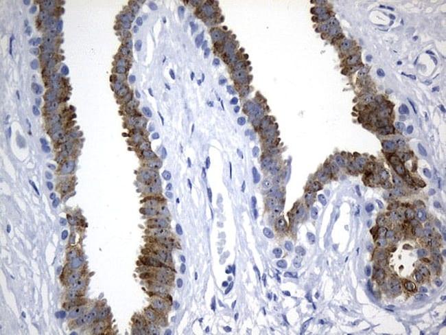 AGR2 Antibody in Immunohistochemistry (Paraffin) (IHC (P))