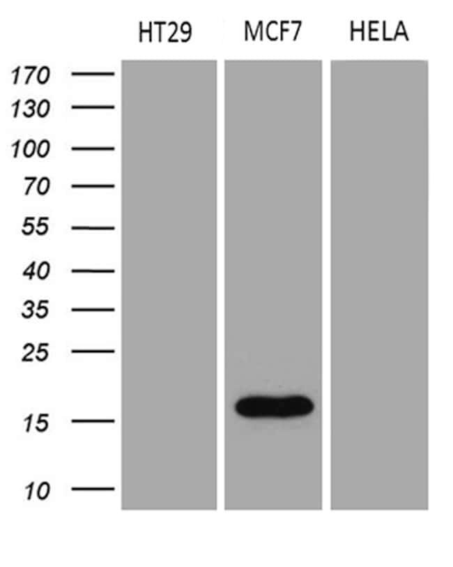 AGR2 Antibody in Western Blot (WB)