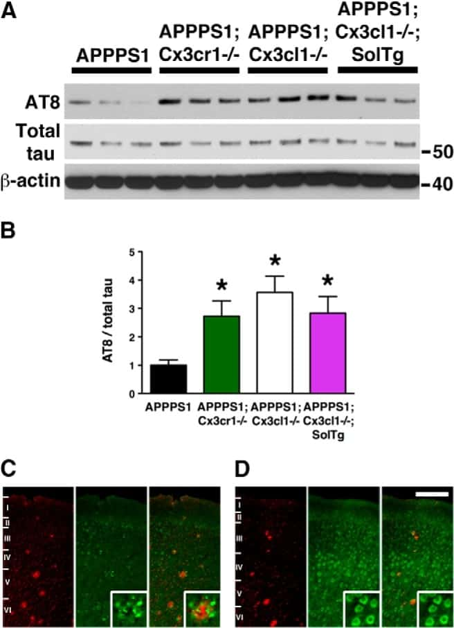 Phospho-Tau (Ser202, Thr205) Antibody
