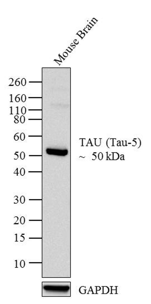 Tau Antibody in Western Blot (WB)