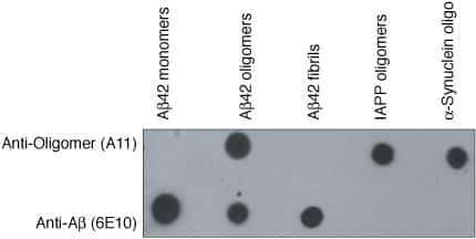 Oligomer A11 Antibody in Western Blot (WB)