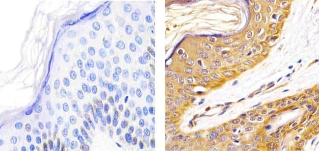 alpha Synuclein Antibody in Immunohistochemistry (Paraffin) (IHC (P))