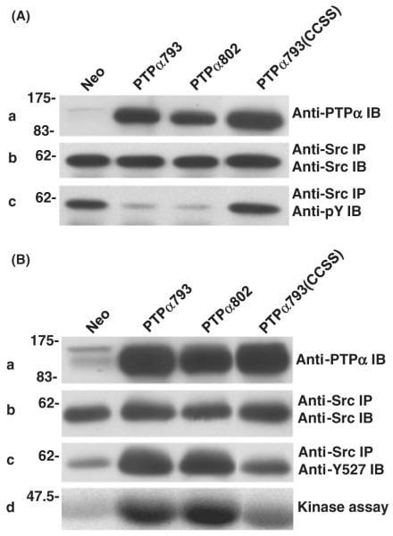 SRC (active) Antibody