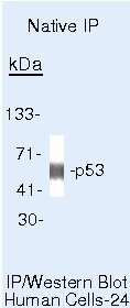 p53 Antibody in Immunoprecipitation (IP)