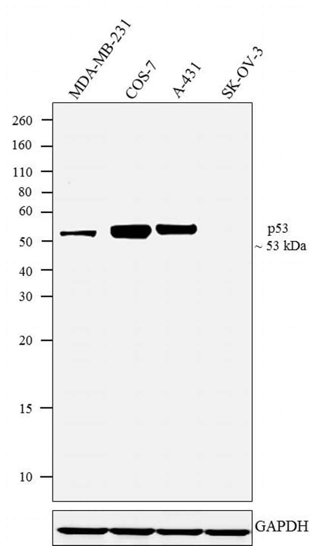 p53 Antibody in Relative expression