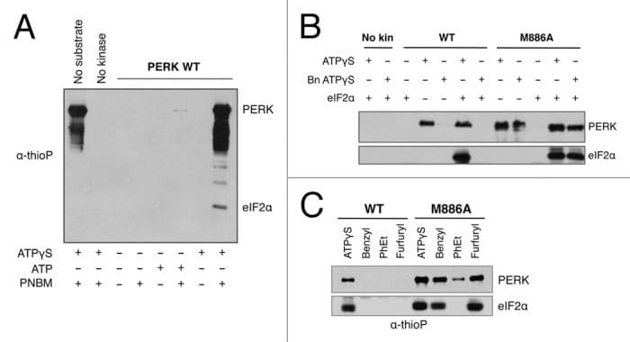 EIF2S1 Antibody