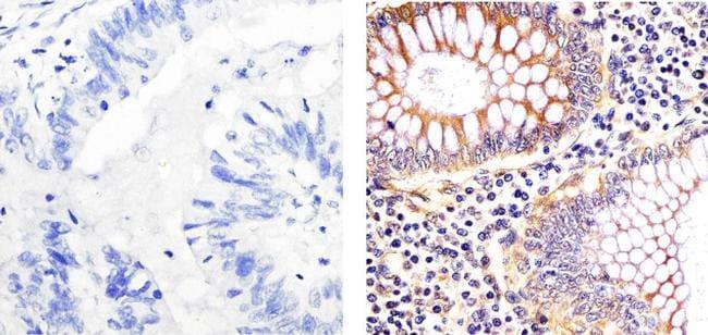 EIF2S1 Antibody in Immunohistochemistry (Paraffin) (IHC (P))