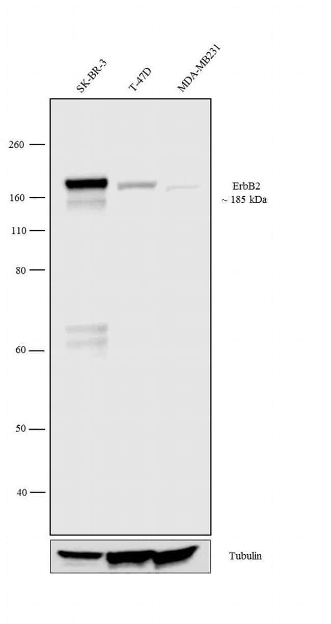 ErbB2 (HER-2) Antibody in Relative expression