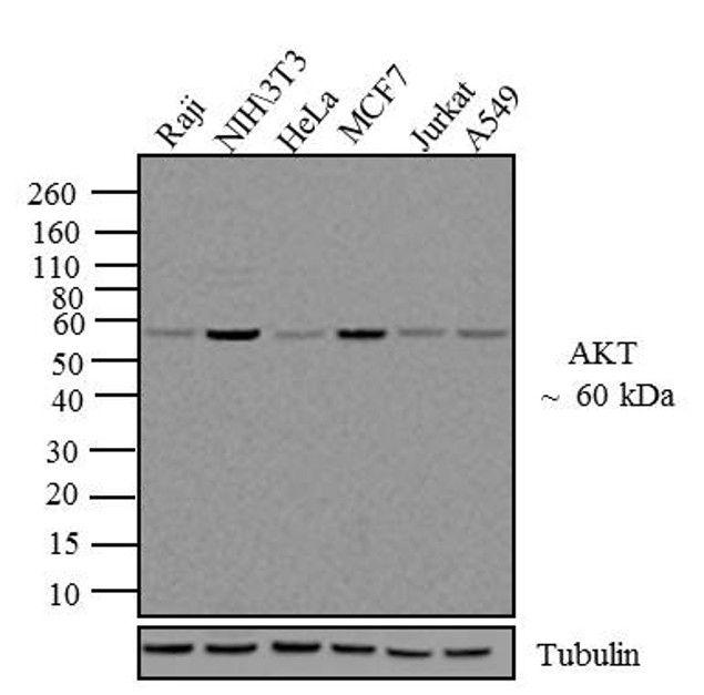 AKT1 Antibody in Western Blot (WB)