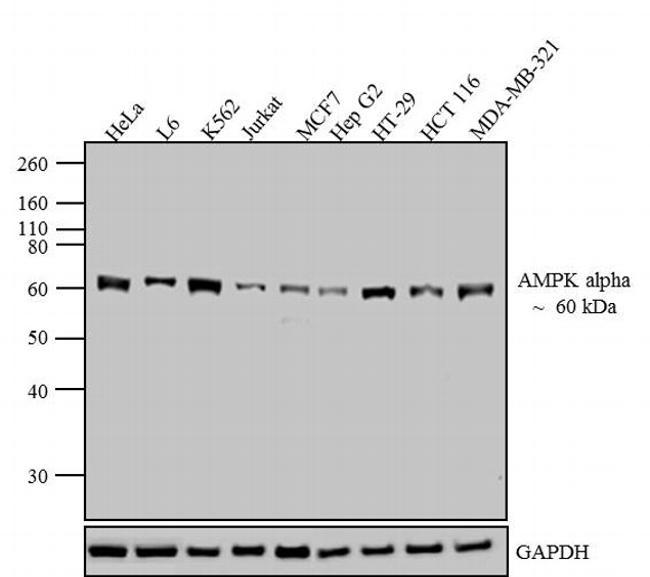 AMPK alpha-1 Antibody in Western Blot (WB)