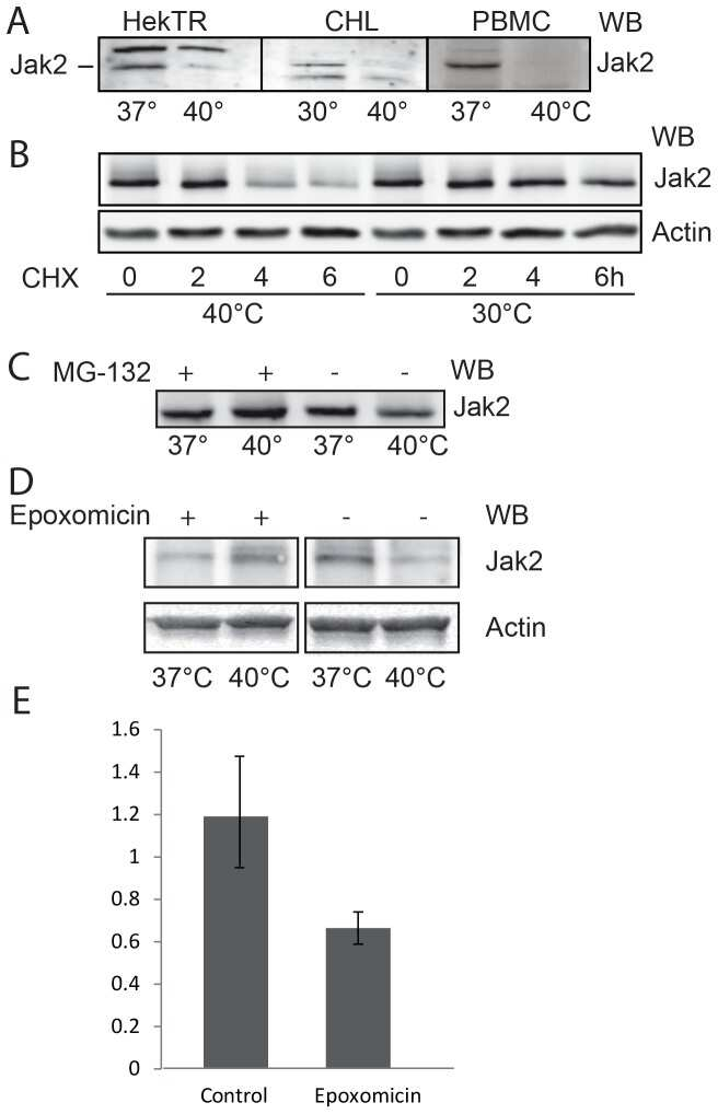 JAK2 Antibody
