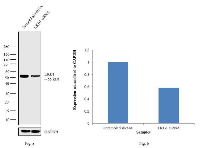 LKB1 Antibody in Knockdown