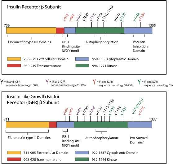 INSR alpha Antibody