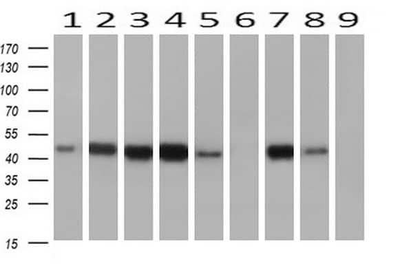 AHSG Antibody in Western Blot (WB)