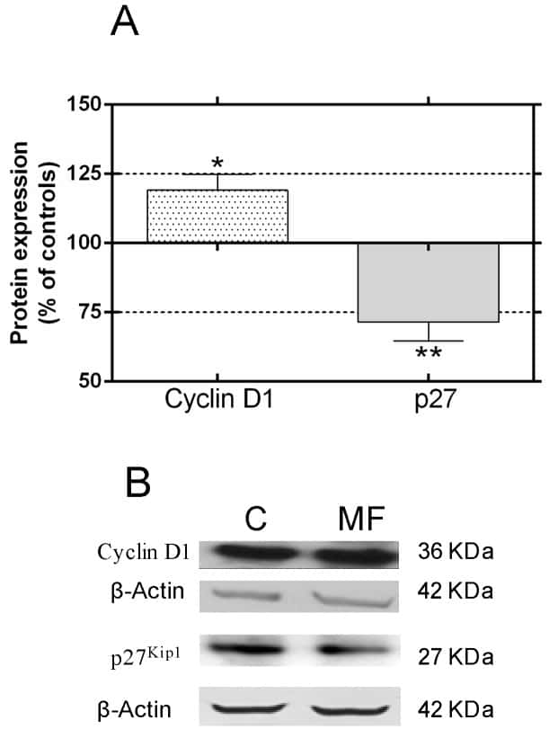 p27 Kip1 Antibody