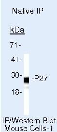 p27 Kip1 Antibody in Immunoprecipitation (IP)