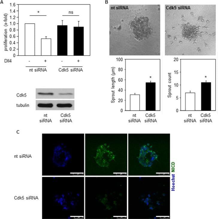 CDK5 Antibody