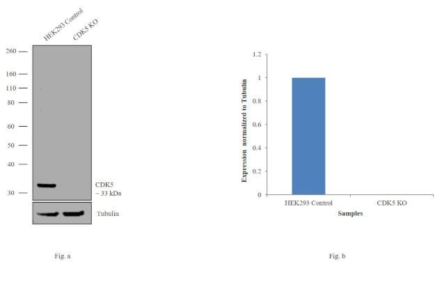 CDK5 Antibody in KnockOut