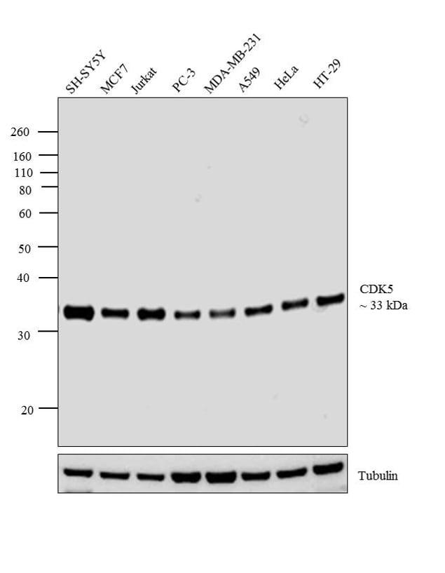 CDK5 Antibody in Western Blot (WB)