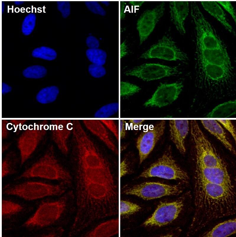 AIF Antibody in Immunofluorescence (IF)