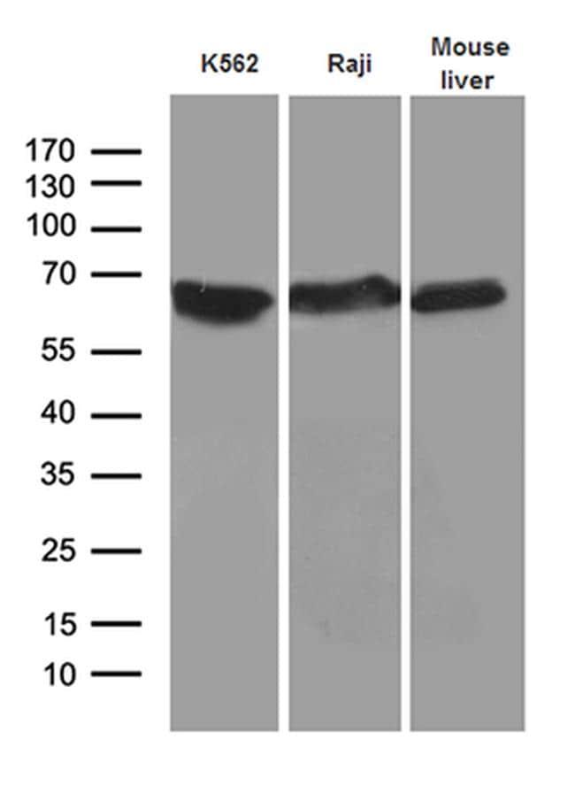 AIFM1 Antibody in Western Blot (WB)