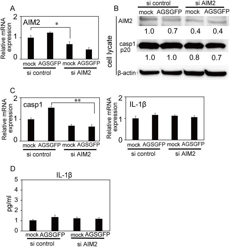AIM2 Antibody