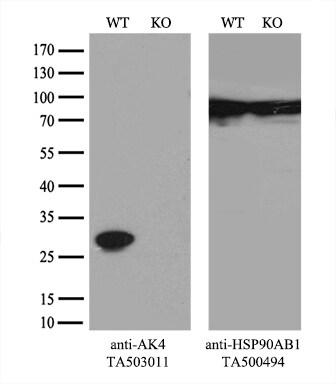 AK4 Antibody
